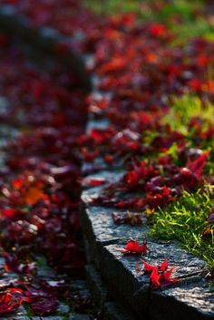 brilliant ruby red leaves.