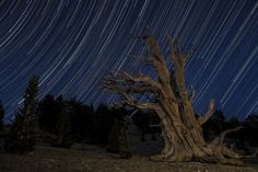 An old dead bristlecone pine tree sits against a path of star trails in the Patriarch Grove, Ancient Bristlecone Pine Forest (Green), California Poster Print (17 x 11)