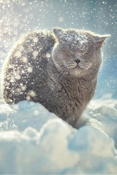Snow cat. Even if I didn't love cats, this is just a beautiful photo. Well done, that photographer.