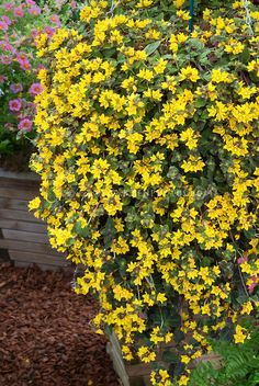 Lysimachia Midnight Sun trailing annual plant in yellow flowers in pot container