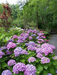 sun garden shade garden hydrangea macrophylla annual plants purple garden garden