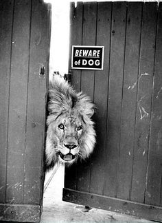"Beware of DOG.this is so funny because my mailman calls one of my dogs ""the lion"" because of his bark! Animals And Pets, Funny Animals, Cute Animals, Wild Animals, Exotic Animals, Baby Animals, Beautiful Creatures, Animals Beautiful, Beautiful Lion"