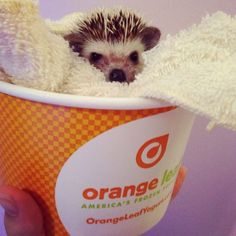 How To: Litter Box Train Your Hedgehog - All