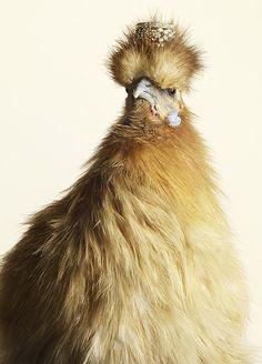Fancy chickens!!!