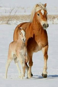 Haflinger mare and foal in the snow. → Yegua y potro Haflinger en la nieve. Baby Horses, Horses And Dogs, Cute Horses, Draft Horses, Horse Love, Breyer Horses, Horse Tack, All The Pretty Horses, Beautiful Horses