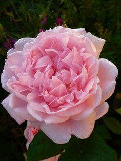 Eglantyne. Rosier arbustif aux grandes fleurs très pleines en forme de coupe de couleur rose pale. Elles s'épanouissent en petits bouquets et exhalent un parfum intense. Un des plus beaux rosiers anglais du célèbre obtenteur David Austin. Magnifiques fleurs coupées. Croissance vigoureuse, touffue et régulière, feuillage sain et vernissé. Port large. Hauteur 0.9m à 1.2m idéale pour une utilisation en massifs, mix-border et fleurs coupées. Austin, 1990.