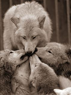 Wolf pack love