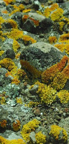 Fun moss-lichen growing on the rocks at Spirits Bay - NZ