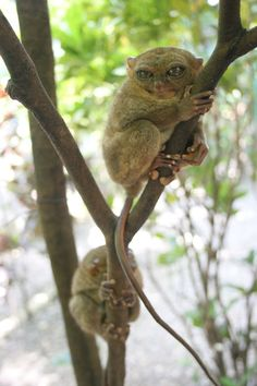 The Philippine tarsier is at risk from habitat loss and the pet trade.