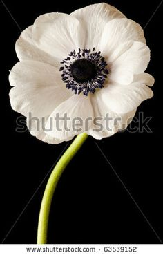 Black and White Anemones   Black and White Anemone Isolated on a Black Background - stock photo