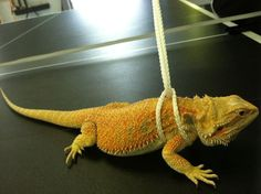 diy bearded dragon harness - Google Search