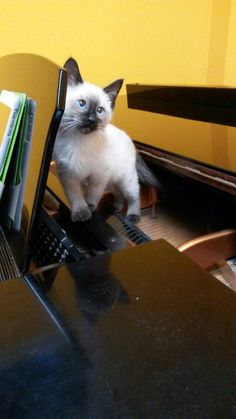 Wonderful cat who wants to play The piano! #cats #piano #music