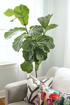 How to keep a fiddle leaf fig alive and happy | Decor Fix