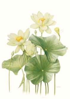 Beverley Allen's Nelumbo lutea lotus is part of the Botanica 2012 - The Masters & Moore exhibition. Illustration Botanique, Illustration Blume, Botanical Illustration, Botanical Flowers, Botanical Prints, Art Floral, Watercolor Flowers, Watercolor Paintings, Lotus Painting