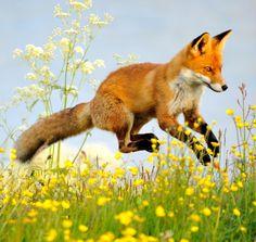 beautiful-wildlife: Flying Fox by Hannu Koskela - Beautiful Animals