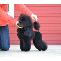 Doggies, Pet Dogs, Pets, Standard Poodles For Sale, Poodle Cuts, Chi Chi, Pet Stuff, Dog Grooming, Connection
