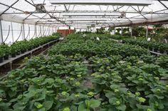 Rohsler's Allendale Nursery and Florist- Greenhouse.