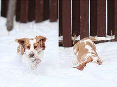 when basset hounds run…
