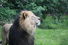 Asiatic lion -
