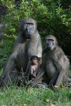 Family ~ Bosveld, Bobbejaanfamilie.