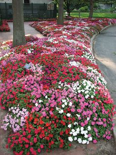 impatiens Grow impatiens flowers in well-drained soil enriched by humus. Although impatiens flowers can, with sufficient water, be grown in partial sun in northerly regions, their great virtue is that they thrive in the shade.