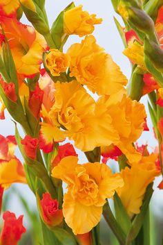 www.ibulb.org - Photo number 210157 #Gladiolus