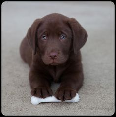 Adorable English Labrador Puppy
