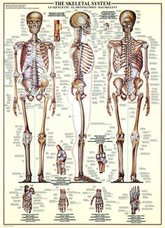 eurographics skeletal system (human body) 1000-piece puzzle. learn, Skeleton