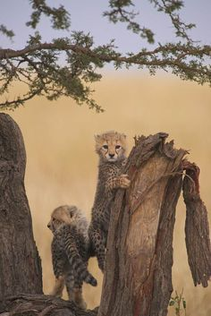 Show the world how you connect with nature. Share your most inspiring photos starting April Pumas, History Of Photography, Wildlife Photography, Photography Tips, Cheetah Photos, Baby Animals, Cute Animals, Baby Cheetahs, Cheetah Cubs