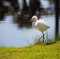 "Snowy Egret makes her way around the Osprey Point Golf Course Pond. She greets each guest as they make their way to the practice driving range. Her beautiful white feathers blow in the wind, while her majestic colored eyes, beak and feet add a pop of color to her white plumage. ""Snowy Egret Dance at Osprey Point"" © by Christy Cox - the beauty of nature"