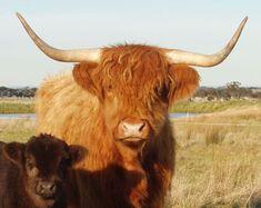 Highland Cattle Calf   Bairnsley Highlands - Horn Shapes in Highland Cattle
