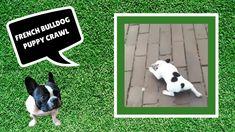 French Bulldog Puppy Crawl - Stella The Frenchie - YouTube Bulldog Puppies, Cute Puppies, Cute Puppy Videos, New Friends, Boston Terrier, French Bulldog, Dogs, Youtube, Animals