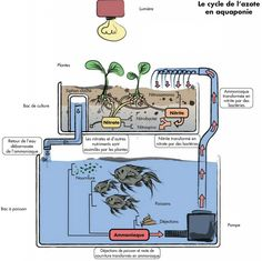 Have you heard of aquaponics? Aquaponics Combines the Growing of Fish and Plants You may grow plants in water and without soil and once one does this together with growing fish you are practicing aquaponics. Aquaponics Greenhouse, Aquaponics Plants, Aquaponics System, Hydroponic Gardening, Organic Gardening, Indoor Aquaponics, Backyard Greenhouse, Greenhouse Ideas, Indoor Gardening