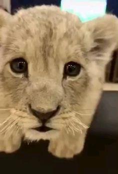 Cute Wild Animals, Baby Animals Super Cute, Cute Baby Cats, Cute Little Animals, Cute Cats And Kittens, Cute Funny Animals, Animals And Pets, Big Cats, Farm Animals