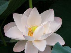 lotus10 by k_keiko