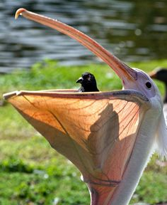 !!! An unlucky pigeon takes its final look at the world – peeking out from a pelican's beak. The little bird had been eating near a pond in St James Park, London, when it was scooped up by the much bigger bird.