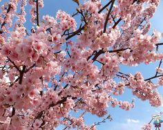 Mandorlo in fiore #LatuaBellezzaèDoro
