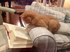 Orange cat reading