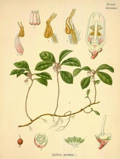Wintergreen: Gaultheria procumbens (LINN.)