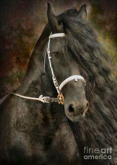 pura-sangre-fotografias-de-cabezas-de-caballos-negros