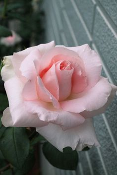Rose Grand Siecle (DELegran) - Hybrid Tea Delbard - Huge blooms, up to 8 inches