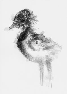 Artist Sean Briggs producing a sketch a day Lapwing chick  #art #drawing…