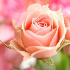 Arti Bunga Mawar Berwarna Peach
