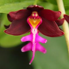 Orchidé rigolote – the laughing orchid - Beautiful Flowers Strange Flowers, Unusual Flowers, Wonderful Flowers, Rare Flowers, Beautiful Flowers, Lilies Flowers, Purple Flowers, Gift Flowers, Weird Plants