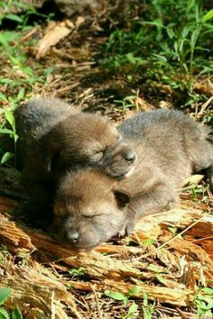 New tiny baby wolf pups sleeping all snuggled up together. So sweet