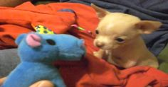 Chihuahua Puppy's First Friend…TOO SWEET!