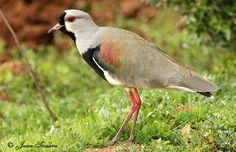 naturaleza sur de chile - Buscar con Google Beautiful Birds, Flora, Prints, Nests, Patagonia, Feathers, Google, Chicken, Nature