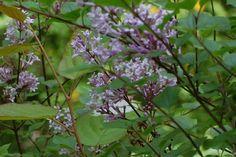 Sering, mini sering - Syringa microphylla 'Superba'