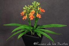 habenaria rodocheila orchids | Habenaria rhodocheila