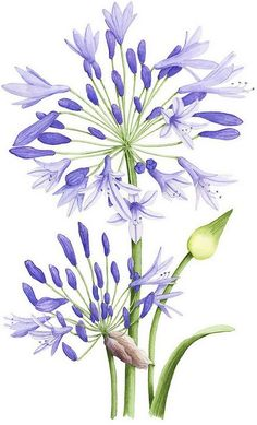 Agapanthus - Allison Langton watercolor and pencil -The color purple is a rare occurring color in nature and as a result is often seen as having sacred meaning. Lavender, orchid, lilac, and violet flowers are considered delicate and precious. Botanical Drawings, Botanical Prints, Botanical Gardens, Watercolour Painting, Watercolor Flowers, Watercolors, Watercolor Portraits, Watercolor Landscape, Watercolor Artists